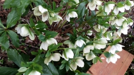 White Hellebore hanging out in the shade